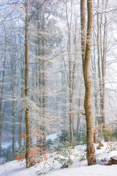 magical winter nature scenery in the morning. beautiful misty weather in the primeval beech forest of carpathians. leafless trees in hoarfrost. sunny and foggy weather. fantasy world