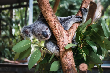 Close up of cute fluffy koala bear hanging on the tree close to the camera