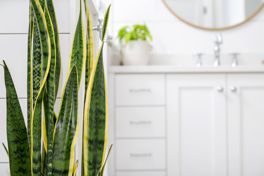 Snake plant (Sansevieria) with copy space