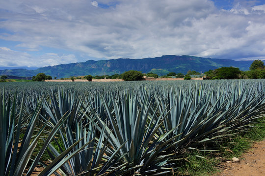 blue agave tequilana weber from Tequila Jalisco México