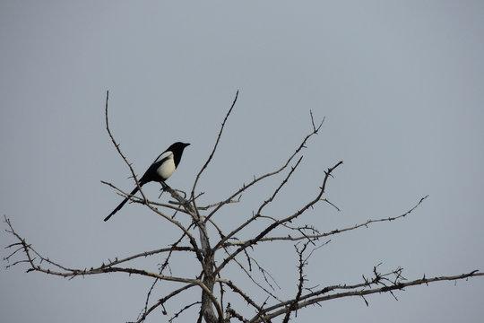 Pájaro negro sobre árbol seco y fondo gris azulado