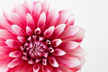 Poster de jardin Dahlia ダリアの花