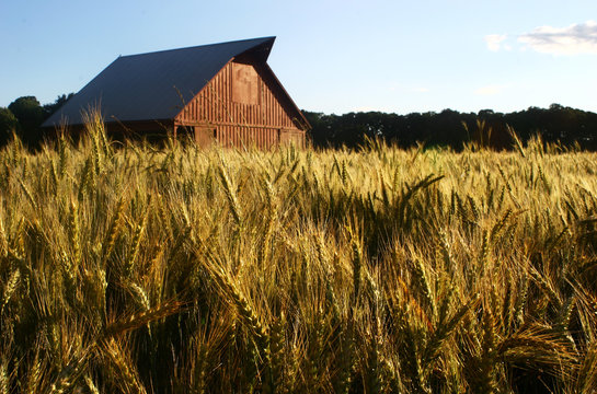 old red barn in wheat field