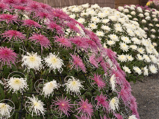 菊の花 千輪咲