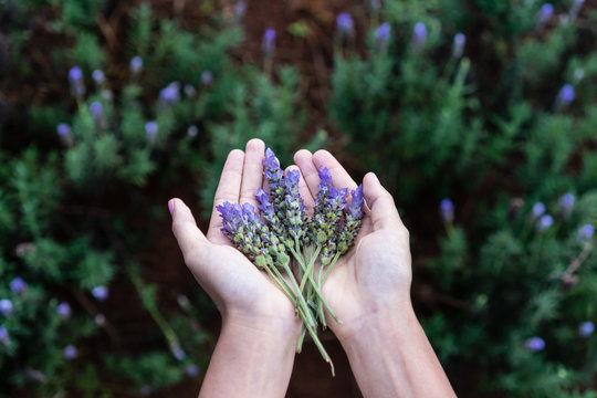 Woman hands filled up with fresh lavender flower