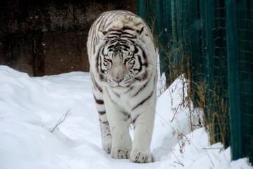 stock photo, a tiger walks through the fluffy snow on a winter day.