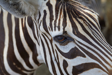 zebra eye black and white stripes of wool