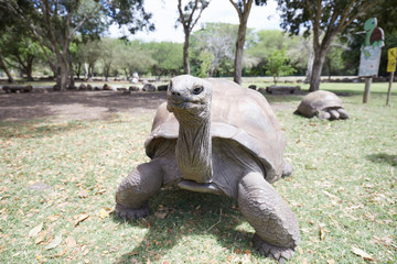 huge land tortoise in the summer on the grass