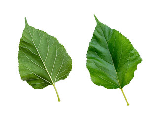 Mulberry leaves isolated on white background with clipping paths