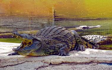 Photo sur Aluminium Crocodile Nile crocodile (Crocodylus niloticus), dangerous crocodiles