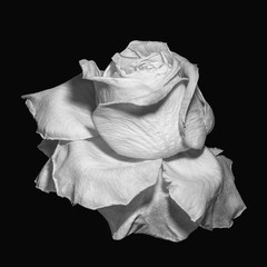 monochrome surrealistic white rose blossom macro,aged single isolated bloom,black background,vintage painting style