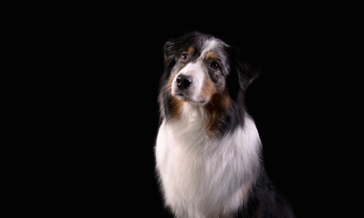 Dog breed Australian shepherd in a photo Studio on a black background, portrait close-up artificial lighting