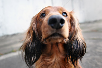 red long haired dachshund dog portrait outdoors Wall mural
