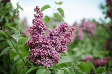 Foto op Aluminium Lilac Lush flowering lilac bushes. Blooming lilac very beautiful rich color. Photo lilac closeup and on a blurred background.