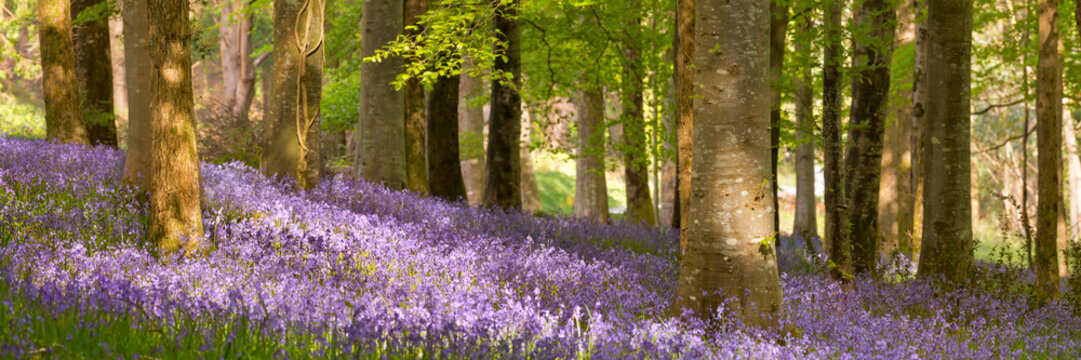 Blooming bluebells in Northern Ireland