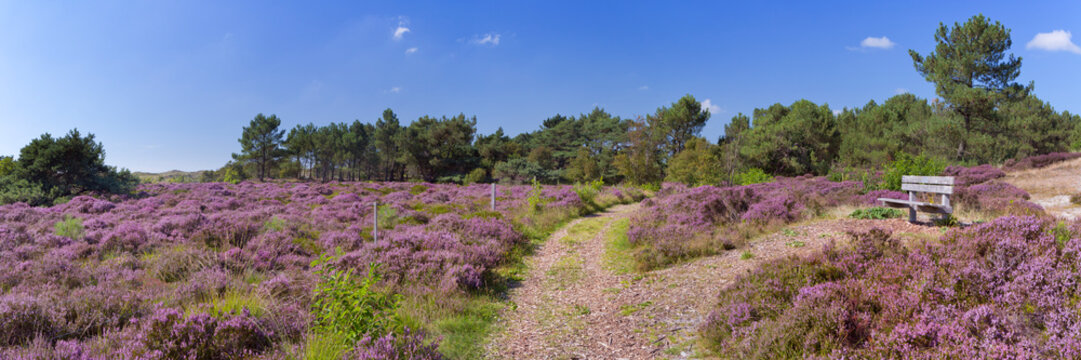 Path through blooming heather in The Netherlands