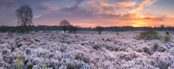 Frosted heather at sunrise in winter in The Netherlands