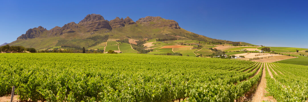 Vineyards near Stellenbosch in South Africa