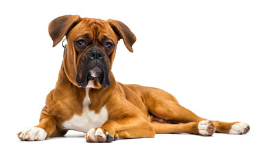Wall Mural - dog breed German boxer looks on isolated on a white background