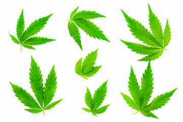 Green leaves of hemp on white background
