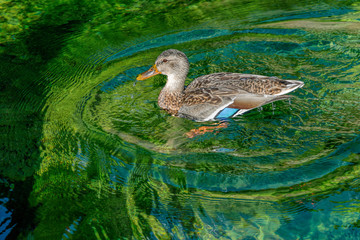 Curious female mallard duck bathing in clear water.