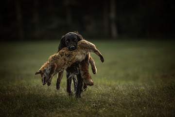 Hound carries a dead fox in its mouth