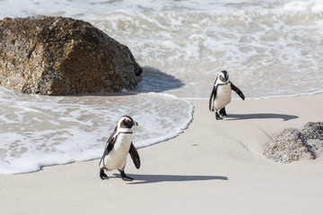 Pinguine am Boulder Beach in Südafrika