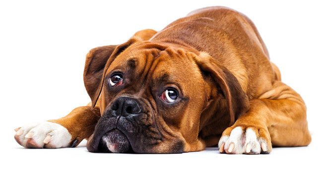 sad dog lies and looks up on isolated on a white background
