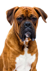 boxer dog looks up isolated on a white background