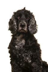 Portrait of an elderly senior cocker spaniel dog