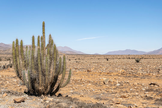 A large cactus in the Atacama Desert