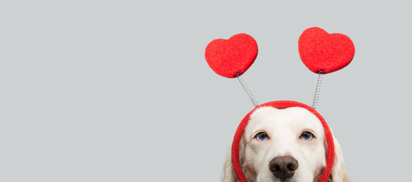 close-up hide and beauty dog in love for happy valentines day with red heart shape diadem. isolated on gray background.