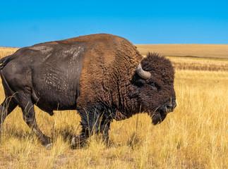 Photo sur Aluminium Buffalo Wild American buffalo (Bison) on the grasslands of Antelope Island, Great Salt Lake, Utah, USA