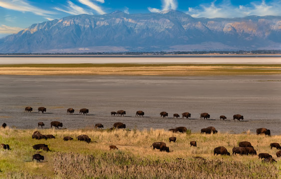 Wild American buffalo (Bison) herds on the grasslands of Antelope Island, Great Salt Lake, Utah, USA