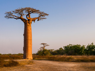 Photo on textile frame Baobab African landscape with majestic baobab tree, Morondava, Madagascar
