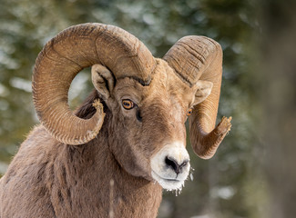 Tuinposter Schapen Rocky Mountains Bighorn sheep