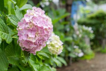 あじさい 花