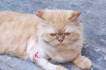 Persian cat with wounds from dog bite on the legs and fungus ears sitting on the floor