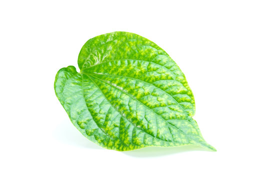 Piper sarmentosum Roxb or Chaplo or piperaceae foliage