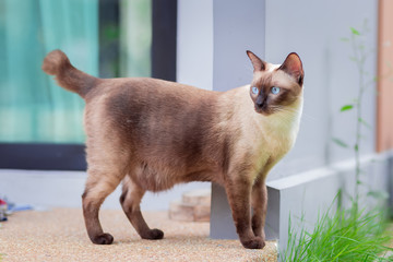Siamese cat are playing in the garden. Thai cat with blue eyes are sitting in the garden at Bangkok ,Thailand. Wall mural