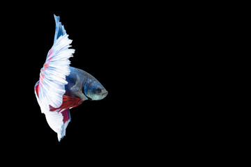 Close-up moment fish betta halfmoon blue red stripes black background scenes