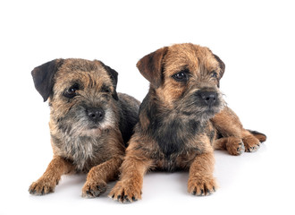 border terriers in studio