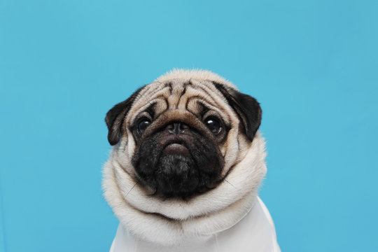 adorable dog pug breed making angry face and serious face on blue background,Pug Purebred Dog Concept