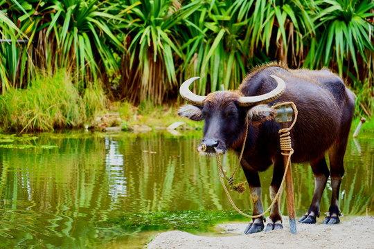 水辺で休む水牛 /  Buffalo resting on the water