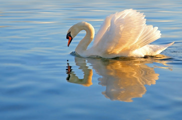 Photo sur Aluminium Cygne graceful swan looking at it's reflection