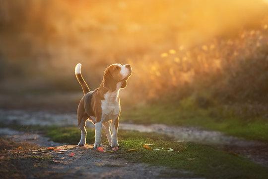 Beagle standing in sunset light