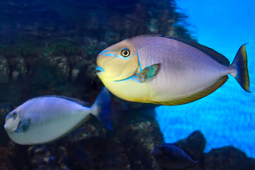 Bignose unicornfish Naso vlamingii tropical sea fish
