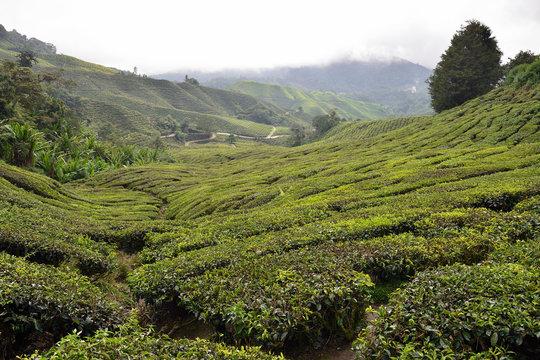 The Cameron Highlands the Garden of Malaysia