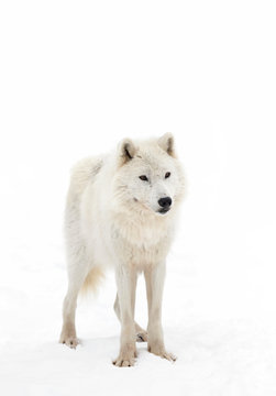 Arctic wolf isolated on white background walking in the winter snow in Canada
