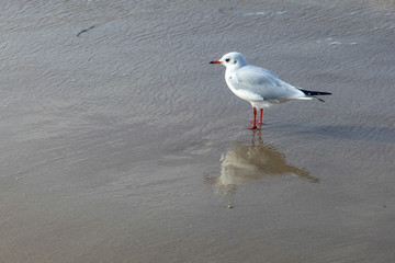 Gull on the beach in Germany